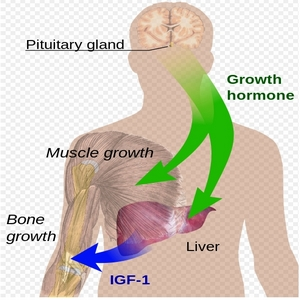 What is HGH Used For